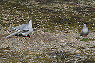 Arctic tern (Sterna paradisaea) performs for mate at nest site after flying zig-zag 12,500 miles (20,000 kilometers) from Antarctica to Africa to Spitsbergen island each summer; Ny-Alesund, Kongsfjorden, Svalbard.