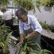 Volunteer working in greenhouse in New York Botanical Gardens Bronx, NY. African American woman repoting plants in greenhouse - RSVP, Retired Senior Volunteer Program, Elderly person(s) volunteering, engaged in meaning, helpful work that contributes to others.