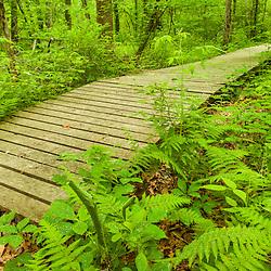Ferns and a wooden boardwalk at a Wildlands Trust preserve in Brockton, Massachusetts.