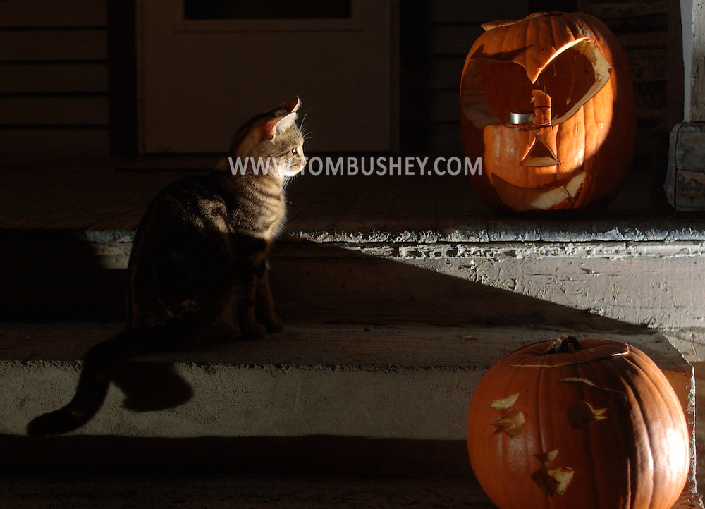 Middletown, N.Y. -  A kitten sits on concrete steps by two carved pumpkins on the night of Oct. 31, 2007.