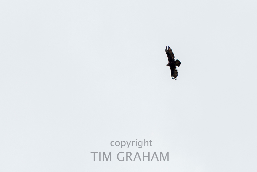 Golden Eagle, Aquila chrysaetos, in flight with wings outstretched soaring high in the sky above Glen More on Isle of Mull in the Inner Hebrides and Western Isles, Scotland