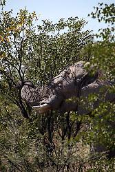 NAMIBIA ETOSHA 28APR14 - An elephant bull feeds on bush plants near Okaukuejo, Etosha National Park, Namibia.<br /> <br /> The African bush elephant is the largest living terrestrial animal,<br /> <br />  but mineral deficiencies mean that they have very short tusks.<br /> <br /> jre/Photo by Jiri Rezac<br /> <br /> <br /> <br /> © Jiri Rezac 2014