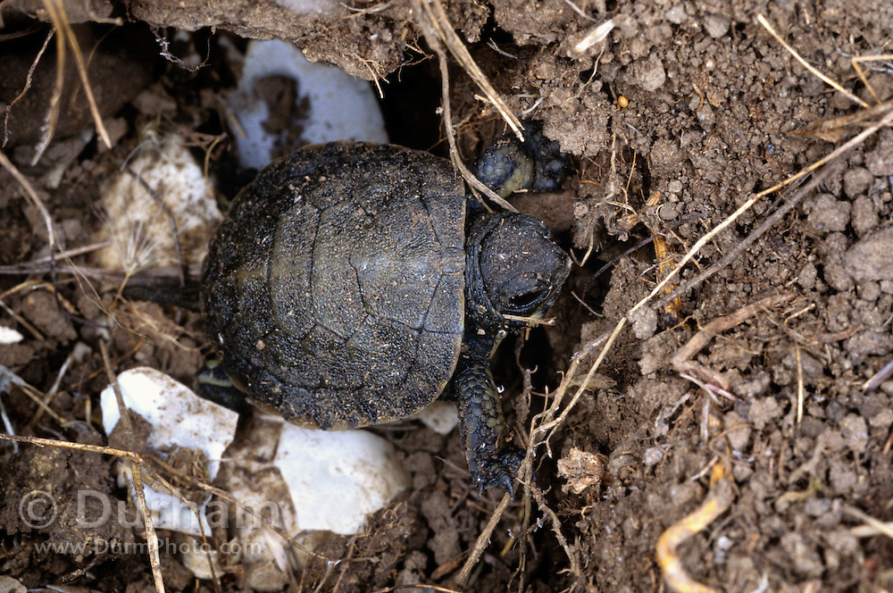 Western pond turtle (Clemmys marmorata) emerging from its nest hole after hatching out of its egg. Columbia River Gorge, Washington USA. Temporarily captive/controlled conditions.
