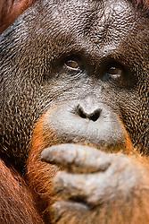 A close-up of a dominant male orangutan (Pongo pygmaeus) face, ,Borneo, Indonesia