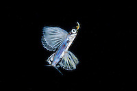 Juvenile Flying Fish, about 3 cm long<br /> <br /> Shot in Indonesia