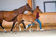 Good Horse JS<br /> Limburgse Veulenveiling 2019<br /> © DigiShots