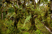 Moss and ferns make up the lush forest in the highlands of Santa Cruz Island, Galapagos Archipelago - Ecuador.