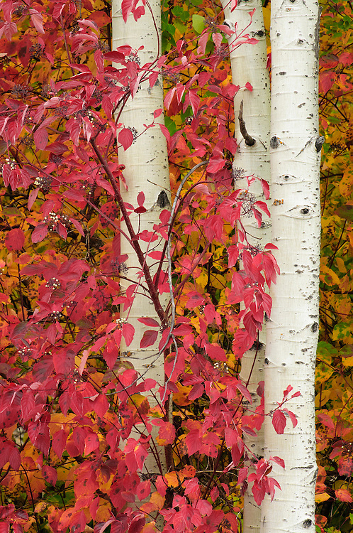 Red-osier dogwood and aspen tree trunks, Tumwater Canyon, Cascade Mountains, Washington.