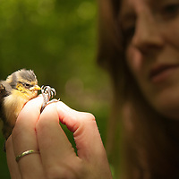 Dr. Eleanor Cole with Blue tit chick, Wytham woods.