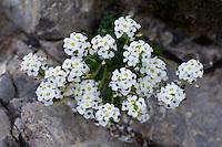 Pritzelago alpina ssp. alpina, Augstenberg, Liechtenstein