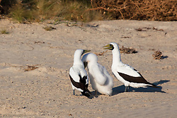Masked Booby (Sula dactylatra) parents tend to their chick on Adele Island, north of Broome on the Kimberley coast.  Adele is an important nesting site and rookery for the birds.  Prior to this shot, one of the parents had chased away a Brown Booby.