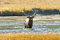 A Bull Elk crosses the Madison River to catch up with the rest of the herd cows he has been watching.
