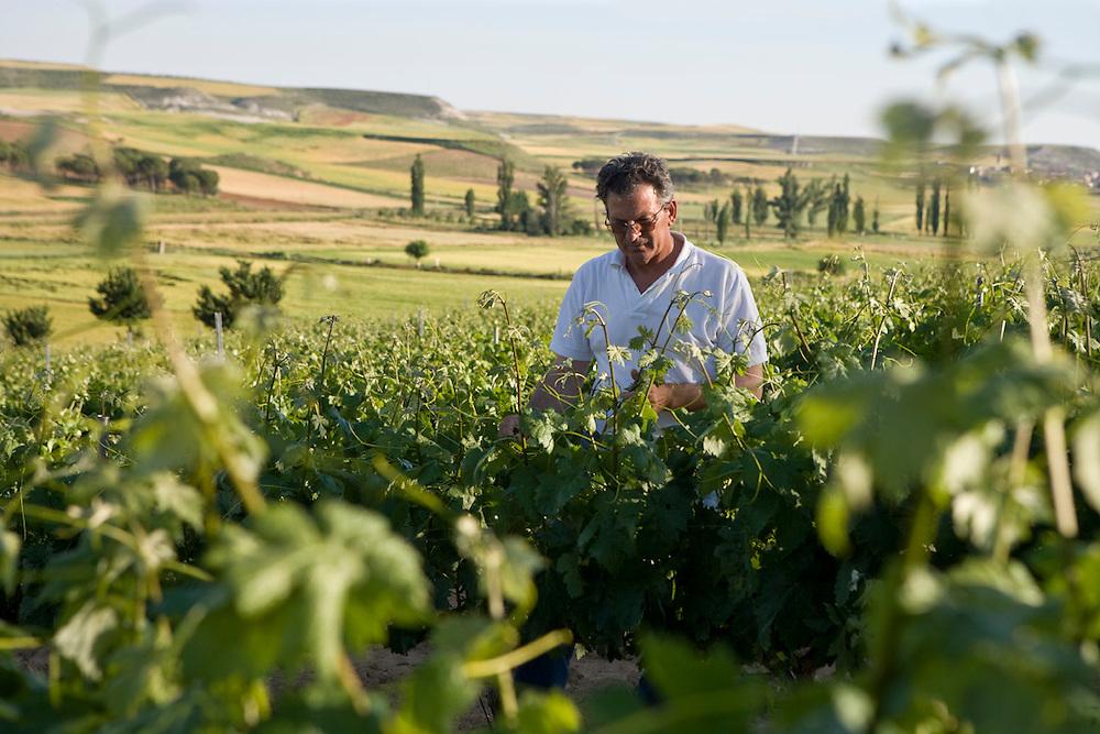 Prune of Ribera del Duero vineyars in June. <br /> <br /> Poda en verde de las cepas de un vi&ntilde;edo de Ribera del Duero en el mes de Junio.