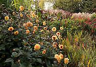 An autumn border of hot colours including dahlia 'David Howard' at the Savill Garden, Surrey, UK