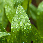 A photo of water droplets on young green leaves in the spring.