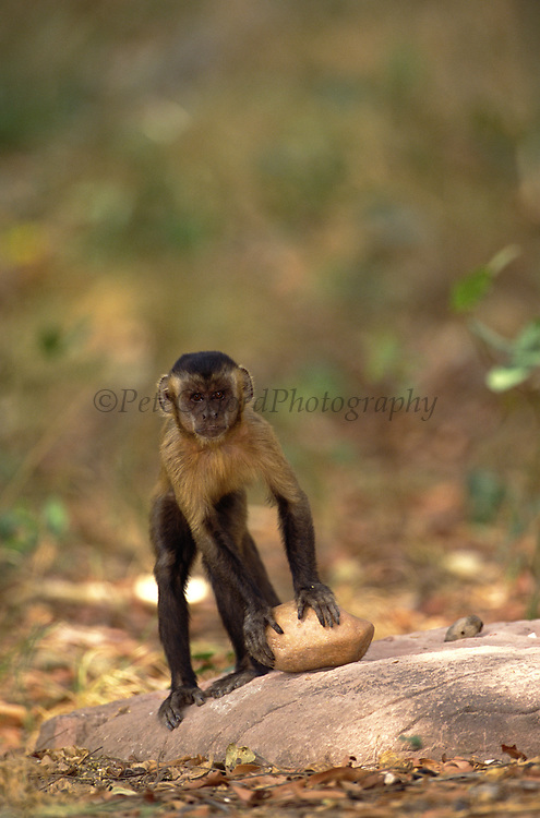 Brown Capuchin Monkey Tool Using<br />Cebus apella<br />Piaui State,  BRAZIL.  South America<br />'On Anvil used for Cracking Palm Nuts'