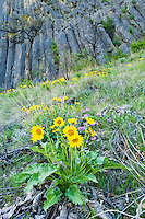 Balsamroot flowers on a grassy hillside below Andesite Cliff columns in the Tieton River gorge, Washington, USA.