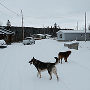 Dogs in the snow at the Ochiichagwe'Babigo'Ining Ojibway Nation reserve (also known as the Dalles First Nation) in Northern Ontario, Canada on 20 December 2016.