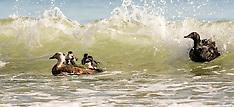 Whangarei-Surfing Paradise ducks, Sandy Bay