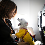 """CHIBA, JAPAN - JANUARY 27 : Pet owners play with her dog during a flight departed from Narita Airport on Friday in Chiba, Japan on January 27, 2017. Japan Airlines """"wan wan jet tour"""" allows owners and their dogs to travel together on a charter flight to Kagoshima Prefecture, southwestern Japan. As part of the package tour, the owners and their dogs will also get to stay together in a hotel and go sightseeing in rented cars. The price of the tour ranges from around ¥150,000 yen to ¥280,00. (Photo by Richard Atrero de Guzman/ANADOLU Agency)"""