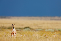 A small red kangaroo joey (Macropus rufus) sits in golden desert grass after a rain,  Sturt Stony Desert,  Australia