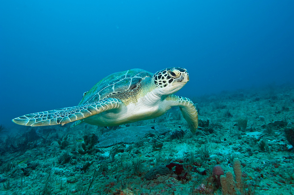 Green Sea Turtle, Chelonia mydas, swims offshore Palm Beach County, Florida
