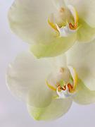Orchid, Dayton, Ohio.