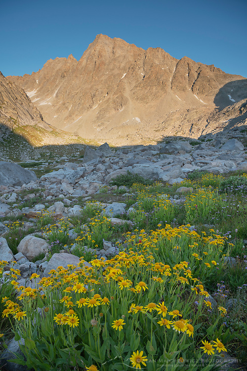 Field of wildflowers composed of yellow Arnica in Indian Basin, Harrower Peak is in the distance, Bridger Wilderness, Wind River Range wyoming