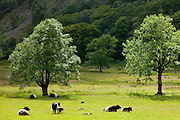 Belted Galloway cattle, Belties,  by Grange Fell near Watendlath in the Lake District National Park, Cumbria, UK