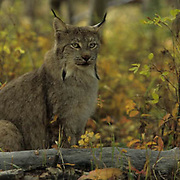Canada Lynx, (Lynx canadensis) Portrait of adult. Rocky mountains. Montana. Captive Animal.