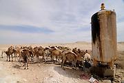 Camel herd on a water hole in the saharan desert, Western Africa, Mauretania, Africa