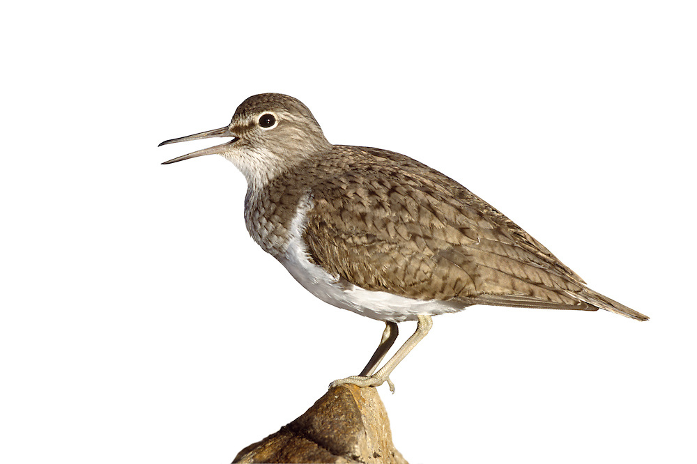 Common Sandpiper Actitis hypoleucos L 18-20cm. Active little wader with a bobbing gait and elongated tail end. Flies on bowed, fluttering wings low over water: note white wingbar and absence of white rump. Sexes are similar.Adult has warm brown upperparts with faint dark centres and barring feathers of back and wings. Head and neck are grey-brown; note clear demarcation between dark breast and white underparts, white extending up sides of breast. Juvenile is similar but wing covert feathers s are barred. Voice Utters a whistling tswee-wee-wee call. Status Fairly common summer visitor, nesting beside upland and northern rivers and lakes. Widespread and fairly common passage migrant, found at inland sites and on coasts. A handful overwinter.