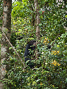 Tacugama Chimpanzee Santury in Freetown, Sierra Leone, is set high in the hills of the Western Area Forest Reserve. The 100-acre Sanctuary is 15 minutes past the historic mountain village of Regent.
