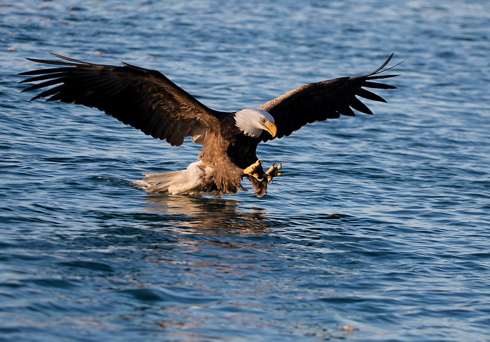 Alaska. Nice light highlighting a Bald Eagle (Haliaeetus leucocephalus) with talons extended, reaching to grab a fish in the water, Kachemak Bay.