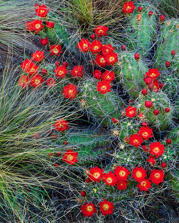 0501-1010 ~ Copyright:  George H. H. Huey ~ Claret cup cactus [Echinocereus triglochidiatus].  Chisos Mountains.  Big Bend National Park, Texas.