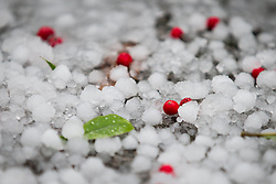 © Licensed to London News Pictures . 09/11/2013 . Manchester , UK . Red berries knocked from the trees to the ground by much larger hailstones in Lightoaks Park in Salford . A freak hail storm in Manchester covers the streets with large hailstones as loud rolling thunder is heard . Photo credit : Joel Goodman/LNP