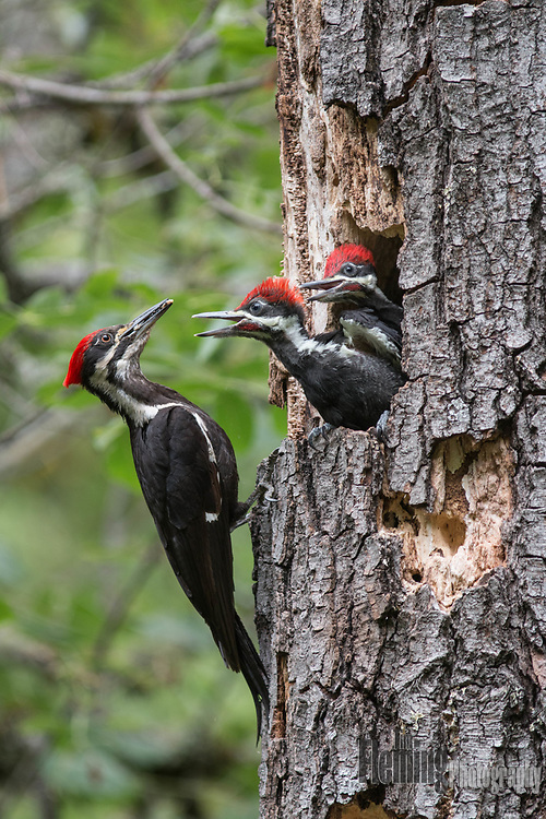 Pileated woodpecker feeding young birds, Sonoma County, California.