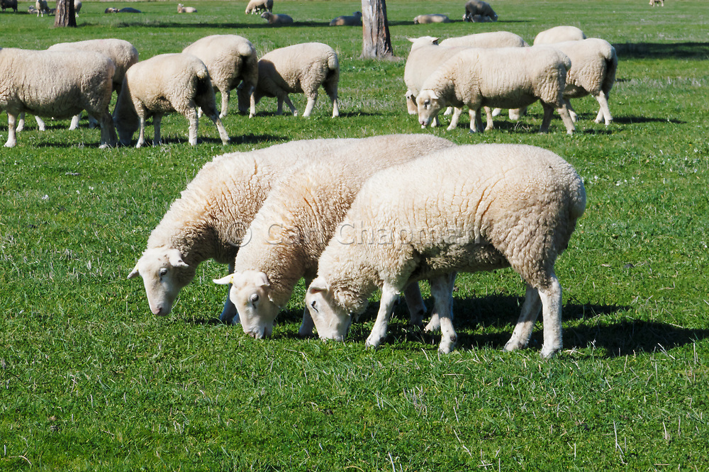 White Suffolk sheep ewes grazing in farm paddock in rural country Victoria, Australia. <br />