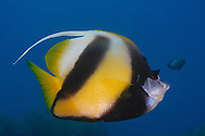 The Red Sea bannerfish (Heniochus intermedius) is a Perciform fish which is found in waters around Africa and the Middle East.