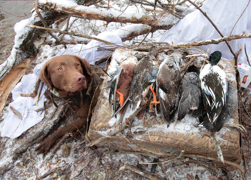 A hunting dog looks up at his catch from inside his small crate at Prairie Creek Reservoir in Muncie, Indiana Monday December 6. The reservoir was closed Monday so the hunters could participate in a goose reduction hunt. The hunters were allowed to shoot any waterfowl.
