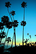 Palm Trees at Dusk in Laguna Beach California