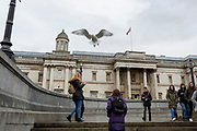 A large seagull takes-off in front of the National Gallery in Trafalgar Square, on 29th March, 2018 in London, England.