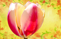 A pink and cream tulip on a textured yellow and floral backdrop with a fine art feel.<br />