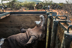 A black rhino from Lewa Wildlife is translocated and moved in a crate to its new home at Sera Community Conservancy.  Rhino have not existed on Sera in over 30 years since the last one was killed by poachers. Now, a brave initiative by has made it possible for the rhino to be reintroduced to this native homeland that it has long been absent.  The people of Sera are ecstatic - this is the first time in East Africa a community will be responsible  for the management and protection of this highly threatened species, signalling a new era in Kenya's conservation efforts.