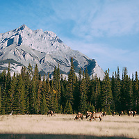 large herd of elk feeding in grass meadow with mountain background