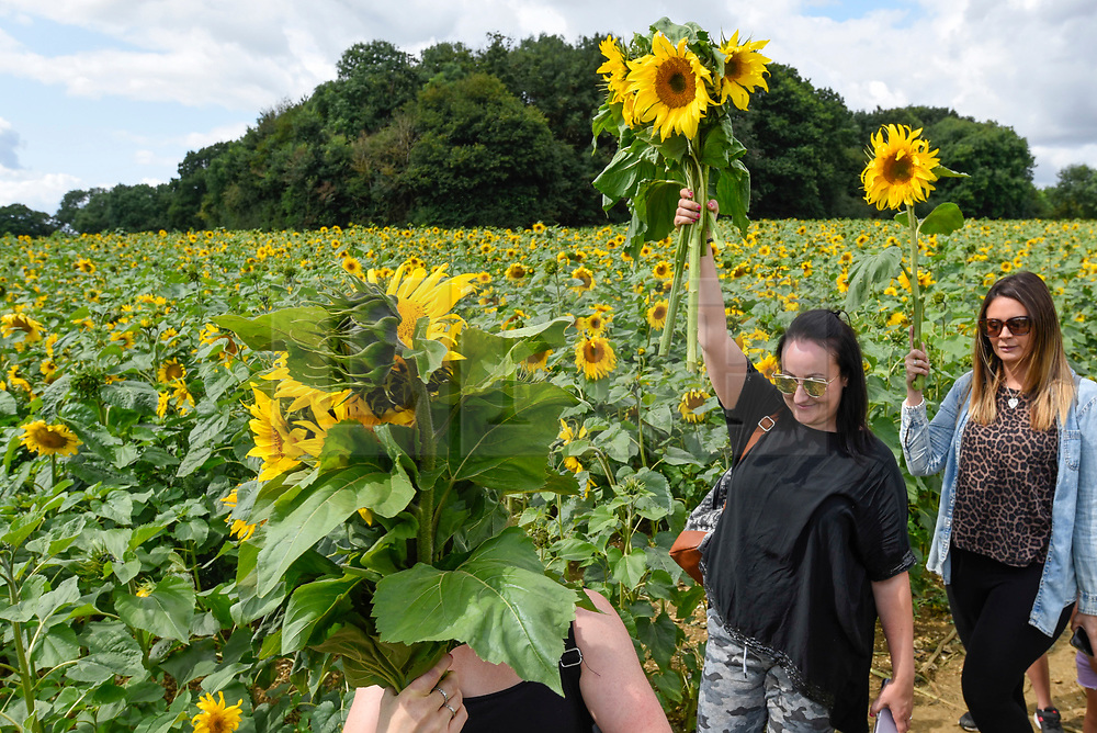 © Licensed to London News Pictures. 20/08/2019. ST ALBANS, UK.  Women walk through the sunflowers on a dry day at Pop-Up Farm, a family run and family friendly farm that welcomes thousands of visitors each year at a series of pop-up farming festivals.  The forecast is for the temperatures to warm up ahead of the August Bank Holiday Weekend. Pop-Up Farm is the vision of Ian and Gillian Pigott who are passionate about farming, education and the environment. The Pigott family have been farming in Hertfordshire for many generations.  Photo credit: Stephen Chung/LNP