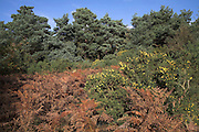 Heathland vegetation and scenery, Shottisham, Suffolk, England