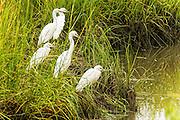 Snowy Egrets in the marsh beside the culvert