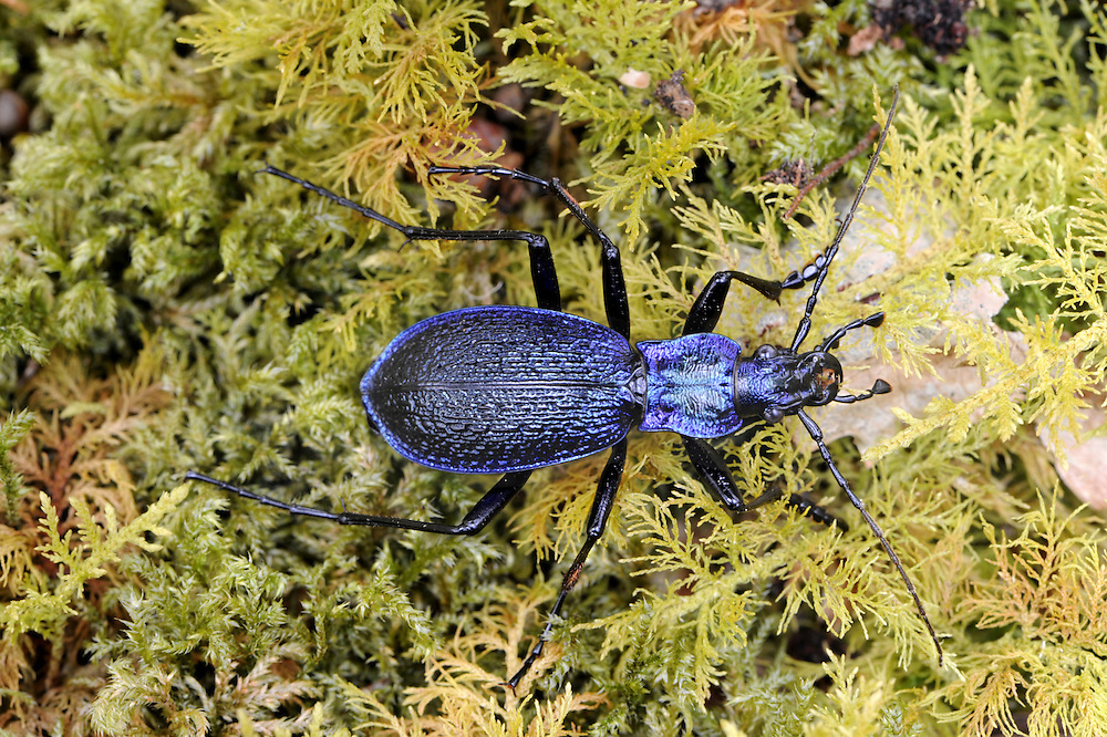 Blue Ground Beetle - Carabus intricatus