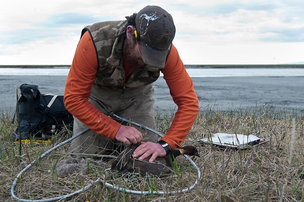 Waterfowl biologist, Howie Singer at Black Brant nest; nest trapping female, Branta bernicla nigricans, Tutakoke River research camp, Yukon Delta NWR, Alaska